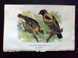 C. W. Gedney 1888 Antique Hand Col Bird Print. Rufous Necked Weaver Bird